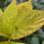 オウゴンハナイカダ(雌花の蕾)
