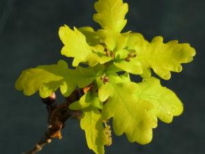 イギリスナラ'コンコルディア'の花(雌花序)