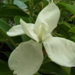 ミヤマガンショウの夏の花