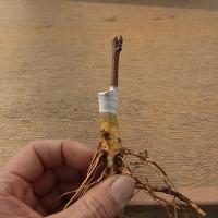 接ぎ木(切り接ぎ)