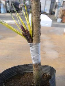 接ぎ木(腹接ぎ)