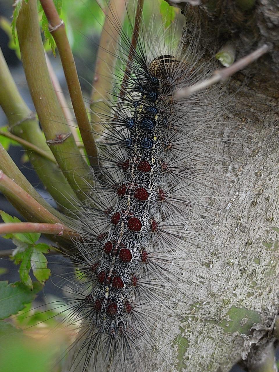 マイマイガの幼虫