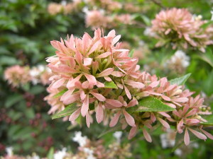 アベリア・シネンシスの萼