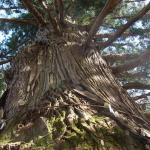 岩手県遠野市駒形神社の御神木