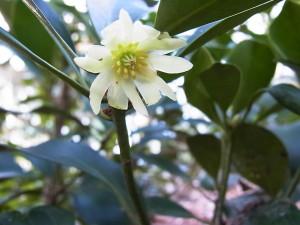 シキミの花