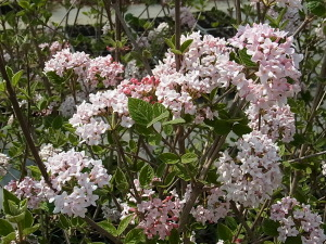 チョウジガマズミの花