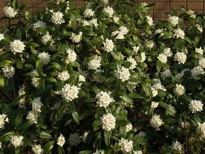 ジンチョウゲ(白花)