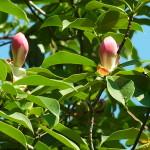 紅花木蓮(Manglietia insignis)