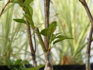 サクラの緑枝腹接ぎ