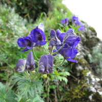 台湾の高山植物:トリカブトの仲間
