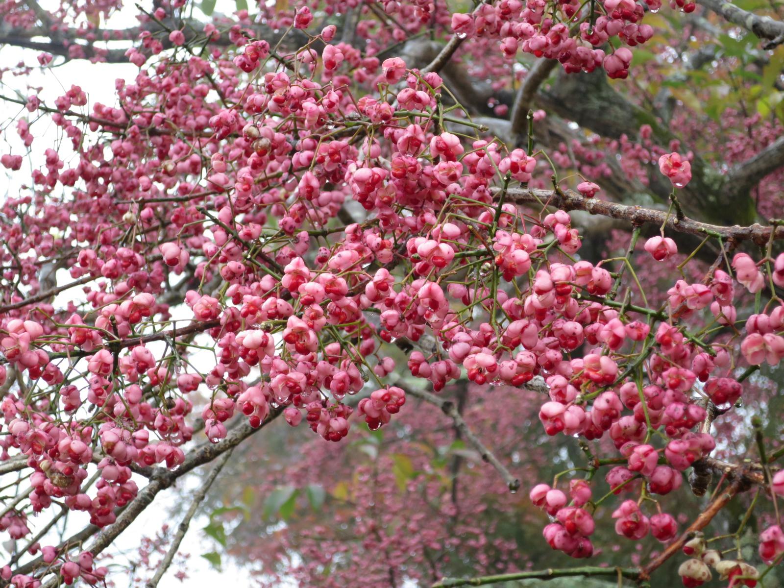 マユミの果実