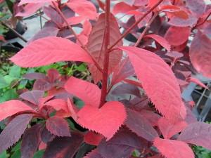 リョウブの紅葉