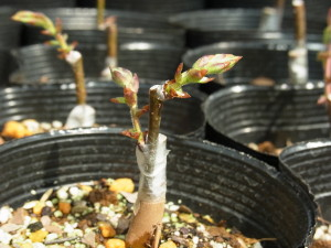 後継樹繁殖の接ぎ木(ケヤキ)