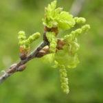 イギリスナラ'コンコルディア'の新葉と花