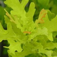イギリスナラ'コンコルディア'の土用芽
