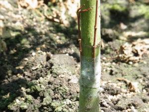 モミジの接ぎ木