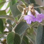 ストロビランテス・ゴッシピヌス(Strobilanthes gossypinus)
