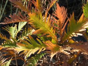 ハゴロモガシワの黄葉