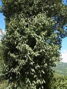 Michelia kisopa