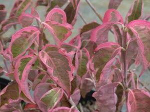 ヤマボウシ'ウルフアイ'の紅葉